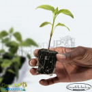 Root Riot - Seed, Cutting or Clone starting media - Hydroponics Propagation