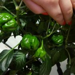 The Scotch Bonnet Survives Bacterial Leaf Spot!