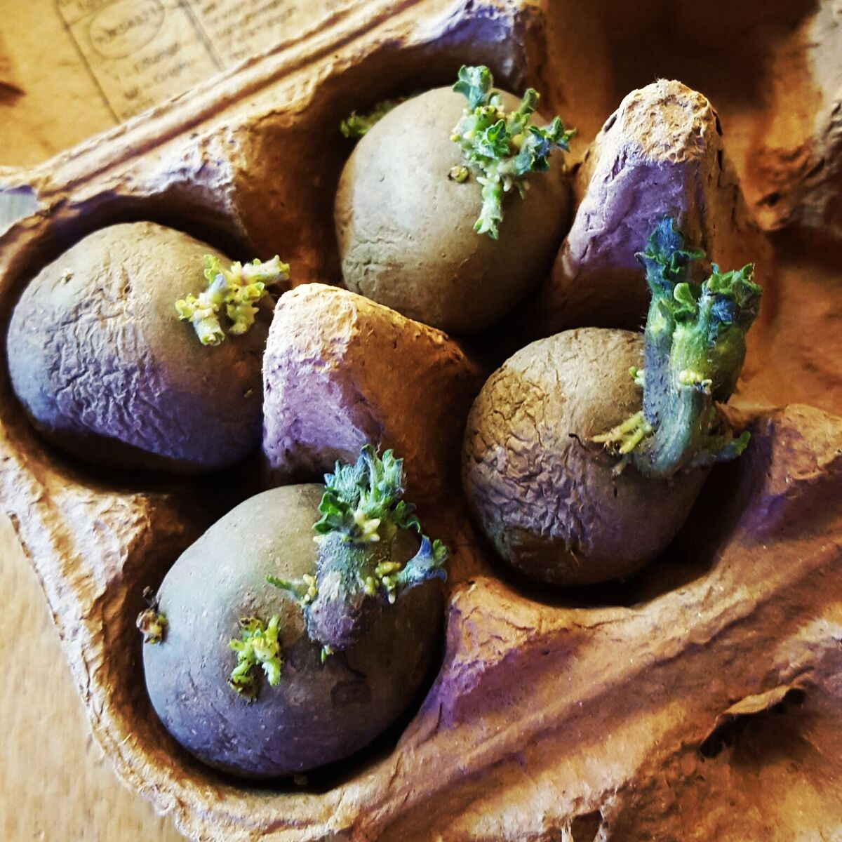Growing Hydroponic Potatoes Latest News From Grown Up
